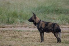 Rare sighting of African wild dog, photographed at Sabi Sands Game Reserve, Kruger, South Africa. African wild dog standing, photographed at Sabi Sands Game stock photo