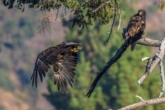 Rare Sighting American Bald Eagle in Southern California Series Stock Photo