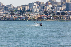 Rare sighting of mother humback whale, Megaptera novaeangliae, swimming with baby in San Francisco Bay. With city in background royalty free stock image