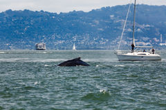 Rare sighting of mother humback whale, Megaptera novaeangliae, swimming with baby in San Francisco Bay and sailboat. Rare sighting of mother humpback whale stock image