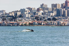 Rare sighting of mother humback whale, Megaptera novaeangliae, swimming with San Francisco skyline in background. Rare sighting of mother humback whale royalty free stock photography