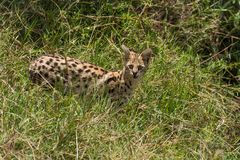 Serval Cat. A rare sighting, the serval cat hunts in the grasses along a Mara creek stock image