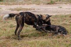 Two African wild dogs playing, part of a larger pack photographed at Sabi Sands Game Reserve, Kruger, South Africa. Rare sighting of two African wild dogs royalty free stock images