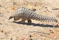 A Rare sighting of a wild Pangolin which is scurrying across the dry ground in Hwange National Park. Close up of a wild Pangolin which was spotted on a walking royalty free stock image
