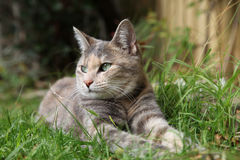 Rare silver classic tortoiseshell-tabby cat Stock Images