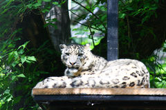 Rare snow leopard resting on stand near trees. This rare snow leopard is resting on a wood stand near some trees in zoo captivity stock image