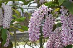 The rare species Asian orchid in Chiang Mai, Northern Thailand Stock Photo