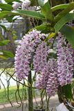 The rare species Asian orchid in Chiang Mai, Northern Thailand Stock Photography