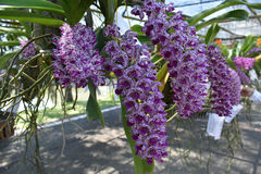 The rare species Asian orchid Stock Photo