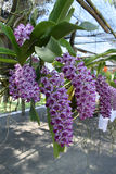 The rare species Asian orchid Royalty Free Stock Image
