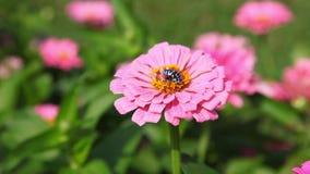4k rare species of blue bee drinking nectar from pink zinnia flower in the garden in summer