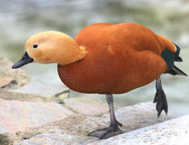 Rare species of duck. Photo of Rare species of duck Royalty Free Stock Photos