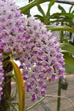 The rare species Asian orchid in Chiang Mai, Northern Thailand Royalty Free Stock Images