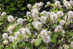 Rare species of pompom flowering shrub. Royalty Free Stock Images