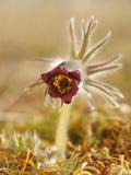 Rare Spring Flower Pulsatilla. Nature Symbol Montana Plants Closeup Beauty Stock Image