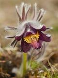 Rare Spring Flower Pulsatilla Royalty Free Stock Image