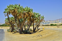 Rare strain of palms at entrance to Eilat, Israel Royalty Free Stock Photos