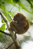 Rare Tarsier monkey Royalty Free Stock Images