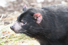 Rare Tasmanian devil (Sarcophilus harrisii) Royalty Free Stock Photo