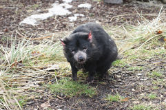 Rare Tasmanian devil (Sarcophilus harrisii). Carnivorous marsupial of the family Dasyuridae now found in the wild only in the Australian island state of royalty free stock image