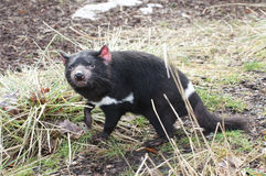 Rare Tasmanian devil (Sarcophilus harrisii). Carnivorous marsupial of the family Dasyuridae now found in the wild only in the Australian island state of stock image