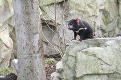 Rare Tasmanian devil (Sarcophilus harrisii) Royalty Free Stock Image