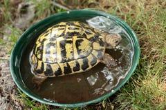 Rare terrestrial turtle taking a bath in a plastic jar. Rare terrestrial turtle in a garden stock image
