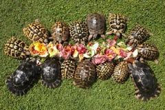 Rare terrestrial turtles eating vegetable. Rare terrestrial turtles in a garden stock photo