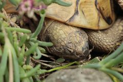 Close up on a rare terrestrial turtle sleeping in a garden royalty free stock images