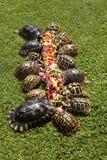 Group of rare terrestrial turtles eating vegetable. Rare terrestrial turtles in a garden stock photography