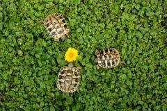 Three rare terrestrial turtles in a garden. Rare terrestrial turtles in a garden royalty free stock photos