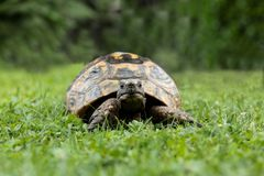 Rare terrestrial turtles in a garden watching at the camera. Rare terrestrial turtles in a garden royalty free stock image