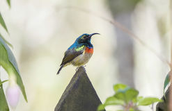 The Rare, Threatened, & Endemic Male Usambara Double-collared Sunbird. The Rare, Threatened,  & Endemic Usambara Double-collared Sunbird Cinnyris usambaricus in Royalty Free Stock Photos
