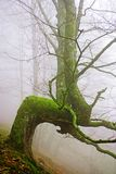 Rare tree in the fog Royalty Free Stock Photography