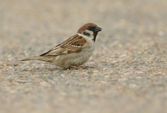 A rare Tree Sparrow Passer montanus feeding on seeds on the ground in the UK. A rare male Tree Sparrow Passer montanus feeding on seeds on the ground in the UK Royalty Free Stock Photography