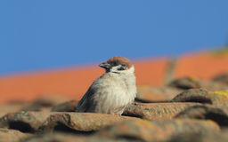 A rare Tree Sparrow, Passer montanus, perched on a tile, on a roof, with blue sky in the background. Stock Image