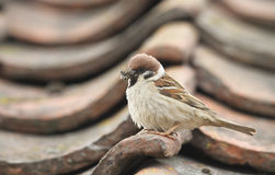 A rare Tree Sparrow ,Passer montanus, perched on a tile, on a roof, with a mouth full of insects to feed its babies. A stunning, rare, Tree Sparrow ,Passer royalty free stock image