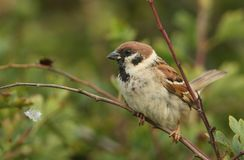 A rare Tree Sparrow Passer montanus perching on a branch in a bush in the UK. A rare male Tree Sparrow Passer montanus perching on a branch in a bush in the UK Stock Image