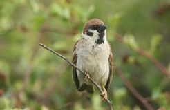 A rare Tree Sparrow Passer montanus perching on a branch in a bush in the UK. A rare male Tree Sparrow Passer montanus perching on a branch in a bush in the UK Stock Photography