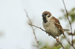 A rare Tree Sparrow Passer montanus perching on a branch in a bush in the UK. A rare male Tree Sparrow Passer montanus perching on a branch in a bush in the UK Royalty Free Stock Photo