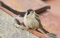 A rare Tree Sparrow Passer montanus perching on the tiled roof of a building in the UK. It has its nest under the tiles. A rare male Tree Sparrow Passer Royalty Free Stock Photo