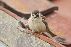 A rare Tree Sparrow Passer montanus perching on the tiled roof of a building in the UK. It has its nest under the tiles. A rare male Tree Sparrow Passer Stock Images