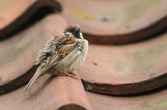 A rare Tree Sparrow Passer montanus perching on the tiled roof of a building in the UK. It has its nest under the tiles. A rare male Tree Sparrow Passer Royalty Free Stock Photos