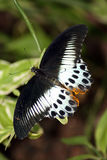 Rare Tropical Butterfly Royalty Free Stock Images