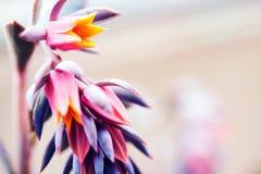 Rare Tropical Flower. Beautiful Rare Purple and Pink Tropical Flower Closeup Photo Stock Image