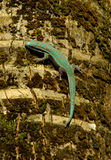 Rare turquoise green Gecko Stock Images