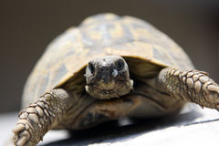 Rare turtle Stock Photography