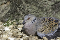 Rare Turtle Dove resting on shells Royalty Free Stock Images