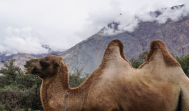 Rare two-humped camels in Nubra Valley, India stock photo