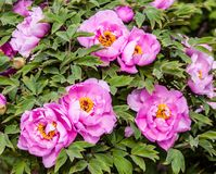 Rare type peonies Royalty Free Stock Images